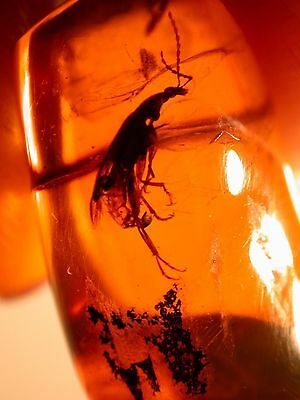 LARGE Comb-Clawed Beetle in Authentic Dominican Amber Stalactite Very RARE