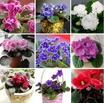PROMO! 150pcs - African Violet Seeds, Matthiola Incana Seed (Mixed Colours)