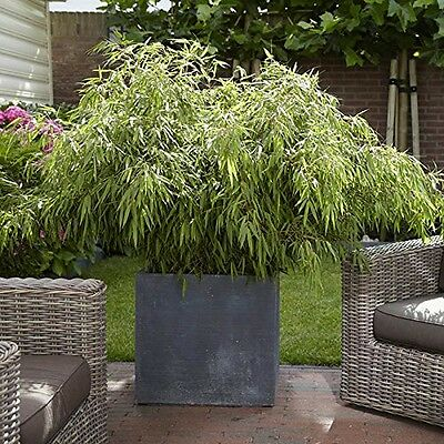 YouGarden Pair of Fargesia Fountain Bamboos Plants 50cm tall