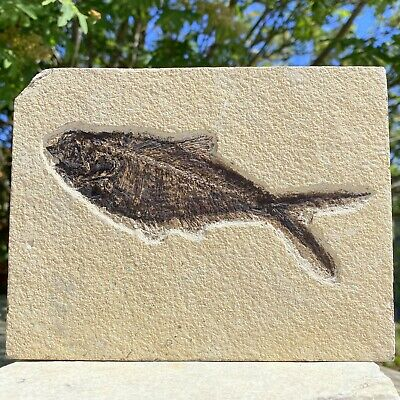Diplomystus sp. Fish Fossil in Matrix - found in USA - Eocene Period - FSR027