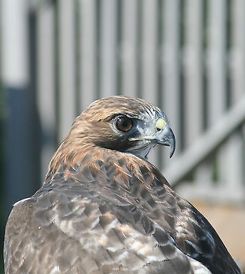 "Red Tailed Hawk ~ Aluminum Mount 16x20"" ~ Photo by Peter Graham"