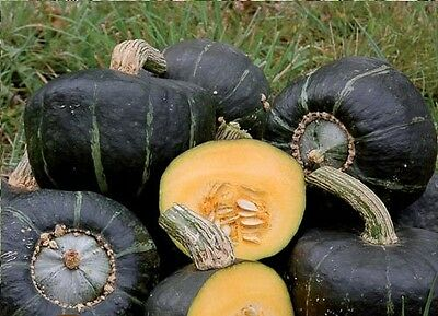 Buttercup Burgess Winter Squash 10 Seeds Treated Heirloom 3-4 lbs! Sweet Flesh