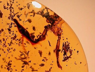 Super RARE Giant Kissing Assassin Bug in Authentic Dominican Amber Gemstone