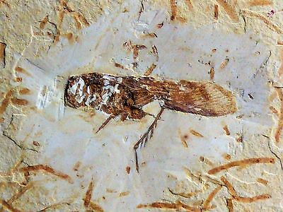 Beautiful Fossil Insect  from Santana Formation, Araripe Basin, Brazil: