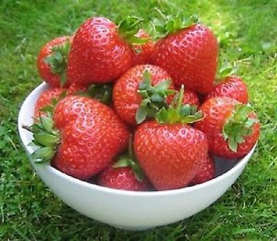 10 / 20 OR 35 x STRAWBERRY PLANTS BARE ROOTED CHOICE OF VARIETIES PLANT NOW
