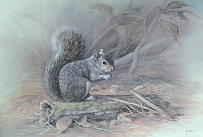 Framed print of a Grey Squirrel by Mike Nance, noted animal artist.