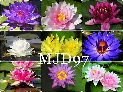 ** Water Lily Seeds ** Mixed Colours ** Pond Plants **