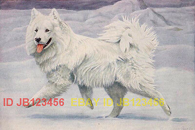 DOG SAMOYED Siberian Reindeer, 85+ Yr Old ANTIQUE Print