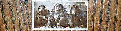 RARE CAVANDERS ANIMAL STUDIES CIGARETTE CARD 1930s -Number 36 -The 3 Disgraces