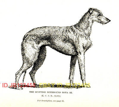 DOG Scottish Deerhound Champion 1890s Antique Print