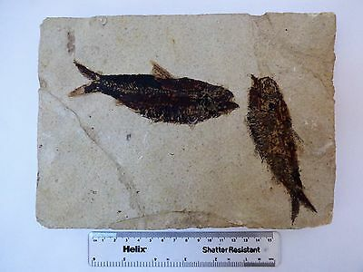 Knightia fossil fish pair. Circa 48 m.y.o. Green River formation. 22 x16 cm