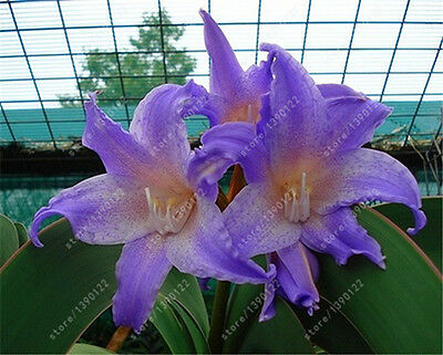 Special Sale variety of Amaryllis Hippeastrum Bulbous Root Barbados Lily potted