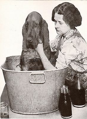 DOG Bloodhound Getting A Bath & Not Happy About It! Vintage Print 1930ss