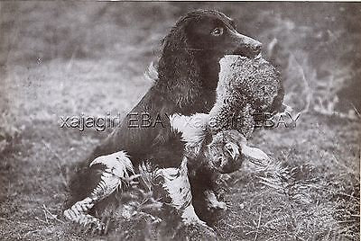 DOG English Springer Spaniel Named Hunting Retrieves Rabbit, Vintage Print 1930s