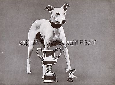 DOG Whippet English Snap Dog Champion (Named) Portrait, Vintage Print 1930s #2