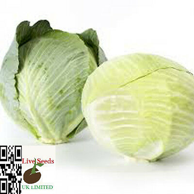 Vegetable - White Cabbage - Kalorama RZ  30 Finest seeds