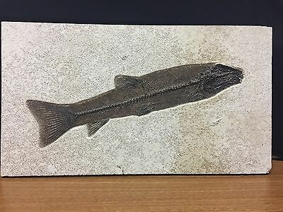 Museum Quality Notogoneus From Green River Formation-Best On eBay - Look