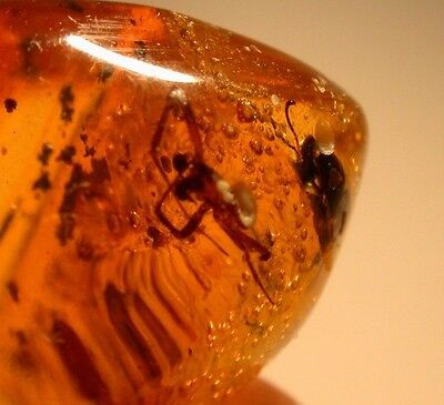 Spider with RARE Eye Stalks, EXTINCT Bee in Authentic Dominican Amber Gemstone