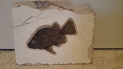 FOSSIL FISH from WYOMING