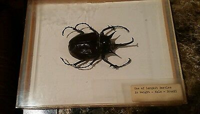 Insect Beetle One of the Largest in weight 1 pound Brazil