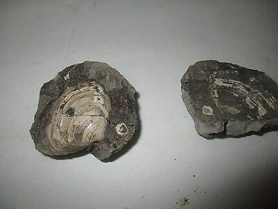 """Great Clam shell concretion full shell in full 3"""" Round From Porter WA 264Grams"""