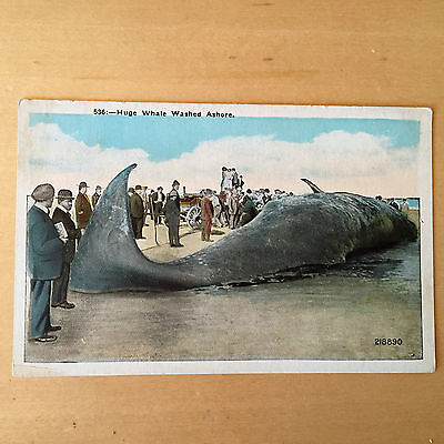 ASBURY PARK NJ 1910's ANTIQUE POSTCARD OF WHALE WASHED ASHORE UNPOSTED