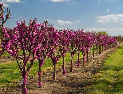 Cercis Chinensis - Chinese Redbud - 50 Seeds