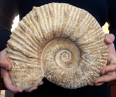 Large Fossil Ammonite - Mantelliceras - Cretaceous age - Morocco. Ref:MNTL