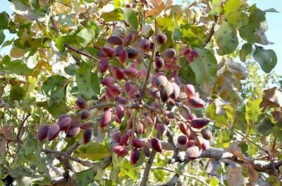 PISTACIA VERA Siirt Turkish Pistachios Tree ORGANIC EDIBLE Fresh Seeds