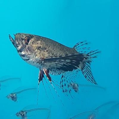 Live Tropical Aquarium Fish for Sale - African Butterfly Fish