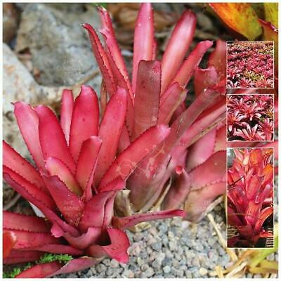 "Aechmea Rubra ""Bromeliad of Bahamas"" seeds 