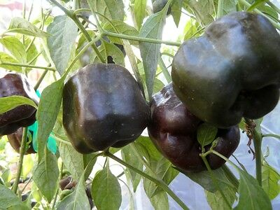 Chilhuacle Negro Pepper, Cacao, Tabacco, Gustoso, 25 Semi, Seeds