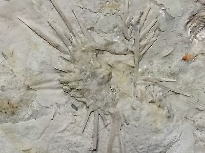 Ultra Cool Indiana Mississippian Spiny Urchin New Location-Trilobite Crinoid Age