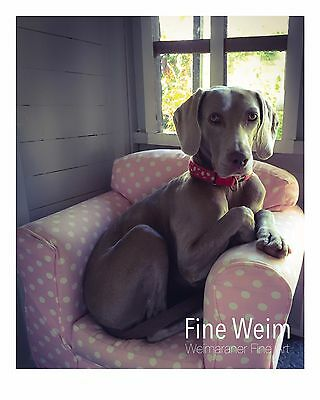 'Alice' Weimaraner Dog Signed, Limited Edition, Fine Art Photograph Print