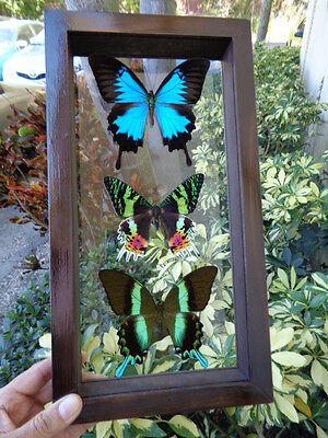 3 Real Butterflies Frame, Amazing Butterfly Mounted Double Glass
