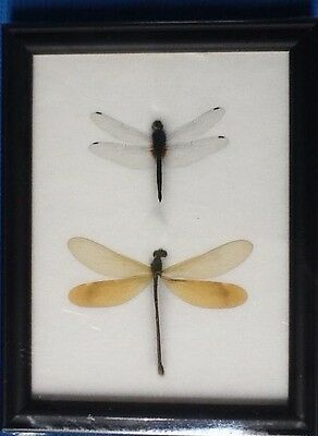 Real 2 Dragonfly In Framed Butterfly Butterflies Insect Taxidermy Gift