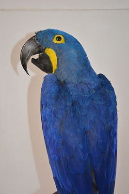 Hyacinth macaw taxidermy with Cites