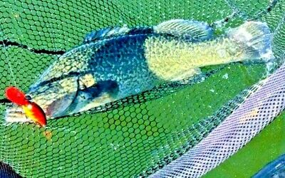 Murray Cod Fishing Lure Trout Yellowbelly Barra Flathead Redfin Jacks Bass Perch