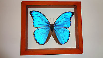 Blue Morpho Didius Frame Real Butterfly  Mounted Wood Frame Double Glass New .