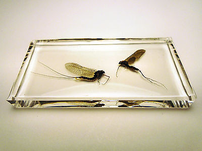 MAYFLIES - EPHEMEROPTERA taxidermy. Real insect clear resin encapsulation