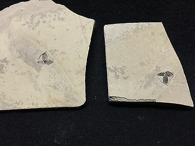 Beautiful Pos/Neg Green River Formation Fossil Flower New Location In Colorado