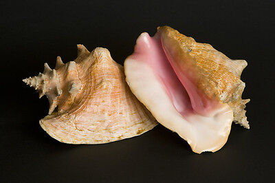 Pink Conch Shell (1 Piece, Large)