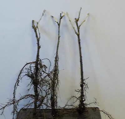 3 x Bare Rooted Gooseberry Bushes – 2 Year Old Plants