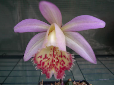pleione orchid Santorini Yellow Wagtail