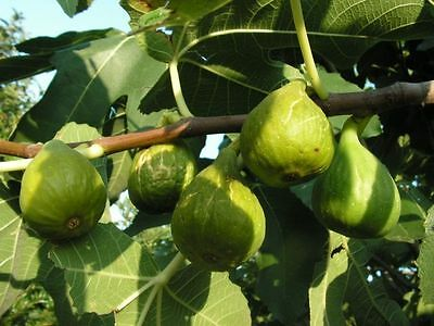 hardy Green Sweet Fig tree plant  great to dry FICUS CARICA SELF FERTILE rare
