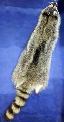 "Raccoons Tanned #1 (30-34"") Heavy Winter Fur-Case Cut -Garment Quality NICE!"