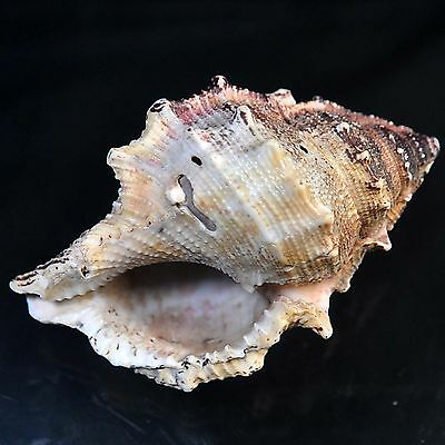 125.00 cts Queen Conch sea shell 77X42 mm Big size beach house cottage decor