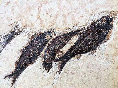 Group of  Knightia fossil fish.Circa 48 m.y.o. Green River formation. Free Stand