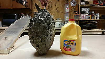 Hornet Nest With Lots Available