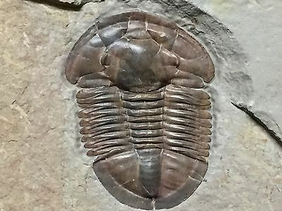 Museum Quality Red Asaphiscus wheeleri Trilobite From Utah-Crinoid Aged-Wow!!
